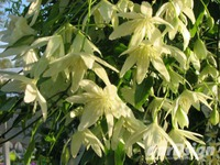 Bosrank Clematis forsteri