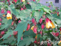Sammetpappel Abutilon 'Kentish Belle'