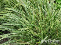 Zegge Carex morrowii 'Ice Dance'